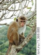 Купить «Обезьяна - боннет или индийский макак (Macaca radiata)», фото № 1369880, снято 23 декабря 2009 г. (c) крижевская юлия валерьевна / Фотобанк Лори