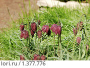 Купить «Таллин, Ботанический сад, рябчик русский среди травы», фото № 1377776, снято 15 мая 2009 г. (c) Александр Гончаров / Фотобанк Лори