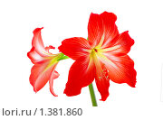 Купить «Цветки гиппеаструма», фото № 1381860, снято 16 января 2010 г. (c) Антон Стариков / Фотобанк Лори