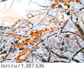 Купить «Замороженная облепиха», фото № 1387636, снято 17 января 2010 г. (c) Туркин Вадим / Фотобанк Лори