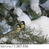 Две синицы. Стоковое фото, фотограф Татьяна Иванова / Фотобанк Лори