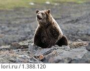 Купить «Бурый медведь», фото № 1388120, снято 9 августа 2009 г. (c) Максим Деминов / Фотобанк Лори