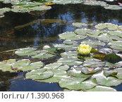 Лягушка с лилией. Стоковое фото, фотограф Павел Крутихин / Фотобанк Лори