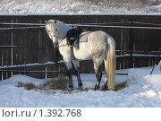 Купить «Лошадь серой (седой) масти», фото № 1392768, снято 16 января 2010 г. (c) Яременко Екатерина / Фотобанк Лори