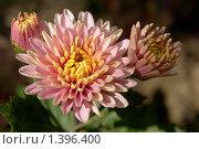 Хризантемы. Стоковое фото, фотограф Виктор Вуколов / Фотобанк Лори