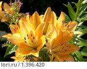 Пламенные лилии. Стоковое фото, фотограф Виктор Вуколов / Фотобанк Лори