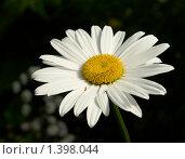 Ромашка садовая. Стоковое фото, фотограф Виктор Вуколов / Фотобанк Лори