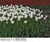 Купить «Белые и красные тюльпаны на городской клумбе», фото № 1400856, снято 19 мая 2009 г. (c) Антон Алябьев / Фотобанк Лори