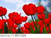 Купить «Красные  тюльпаны», фото № 1401024, снято 9 мая 2009 г. (c) Алёшина Оксана / Фотобанк Лори