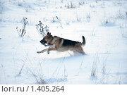 Купить «Овчарка играет на зимней прогулке», фото № 1405264, снято 3 января 2010 г. (c) Анастасия Некрасова / Фотобанк Лори