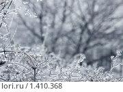 Обледенелые ветки. Стоковое фото, фотограф Елена Олешко / Фотобанк Лори