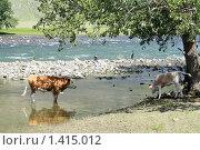 Купить «Быки у реки Чулышман. Горный Алтай», эксклюзивное фото № 1415012, снято 12 июля 2009 г. (c) Яна Королёва / Фотобанк Лори