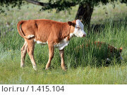 Купить «Молодой теленок в траве», эксклюзивное фото № 1415104, снято 14 июля 2009 г. (c) Яна Королёва / Фотобанк Лори