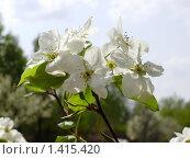 Цветы Дальневосточной груши весной в саду. Стоковое фото, фотограф Денис Кравченко / Фотобанк Лори