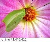 Зеленая бабочка на сиреневом цветке. Стоковое фото, фотограф Ревуцкая Ярослава Юрьевна / Фотобанк Лори