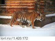 Купить «Тигр», фото № 1420172, снято 22 декабря 2009 г. (c) Gagara / Фотобанк Лори
