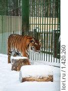 Купить «Тигр в вольере», фото № 1420260, снято 22 декабря 2009 г. (c) Gagara / Фотобанк Лори