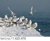 Купить «Чайки зимой», фото № 1420476, снято 26 января 2010 г. (c) Светлана / Фотобанк Лори