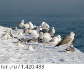 Купить «Зимовка птиц», фото № 1420488, снято 26 января 2010 г. (c) Светлана / Фотобанк Лори