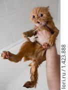 Купить «Мытье кота», фото № 1423888, снято 25 января 2010 г. (c) Анастасия Репина / Фотобанк Лори