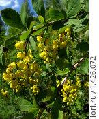 Купить «Барбарис цветет», фото № 1426072, снято 5 июня 2009 г. (c) Арапова Ольга / Фотобанк Лори