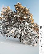 Сосны в зимнем лесу. Стоковое фото, фотограф Кельс Андрей / Фотобанк Лори