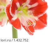 Купить «Гиппеаструм (hippeastrum)», фото № 1432752, снято 25 января 2010 г. (c) Tamara Kulikova / Фотобанк Лори