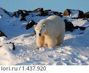 Купить «Белый медведь», фото № 1437920, снято 28 октября 2009 г. (c) Максим Деминов / Фотобанк Лори
