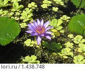 Водяная лилия. Стоковое фото, фотограф Юлия Кузнецова / Фотобанк Лори