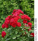 Цветущий розовый куст. Стоковое фото, фотограф Raulin / Фотобанк Лори
