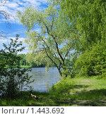 Купить «Ива на берегу реки», фото № 1443692, снято 17 июля 2019 г. (c) Михаил Марковский / Фотобанк Лори