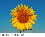 Подсолнух. Стоковое фото, фотограф Сергей Пупков / Фотобанк Лори