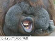 Самец орангутан в Московском зоопарке. Стоковое фото, фотограф Михаил Борсов / Фотобанк Лори