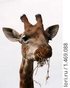 Московский зоопарк. Жираф. Стоковое фото, фотограф Павел Красихин / Фотобанк Лори
