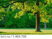Купить «Дуб в утреннем свете», фото № 1469700, снято 20 мая 2006 г. (c) Владимир Блинов / Фотобанк Лори