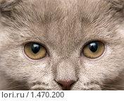Купить «Котенок крупным планом», фото № 1470200, снято 12 февраля 2010 г. (c) Насыров Руслан / Фотобанк Лори