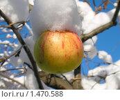Купить «Яблоко в снегу», фото № 1470588, снято 4 ноября 2009 г. (c) Кардаков Алексей Игоревич / Фотобанк Лори