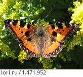 Купить «Дневная бабочка Адмирал (Vanessa atalanta), семейство Nymphalidae, на цветах солидаго (золотарника)», фото № 1471952, снято 22 августа 2009 г. (c) Заноза-Ру / Фотобанк Лори
