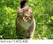 Купить «Кот в траве», фото № 1472436, снято 19 мая 2007 г. (c) Кардаков Алексей Игоревич / Фотобанк Лори