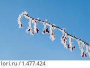 Заиндевелая ветка барбариса на фоне неба. Стоковое фото, фотограф ASA / Фотобанк Лори