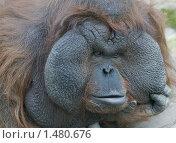 Самец орангутанга в Московском зоопарке. Стоковое фото, фотограф Михаил Борсов / Фотобанк Лори