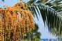 Финиковая пальма, фото № 1484088, снято 9 августа 2007 г. (c) Елена Блохина / Фотобанк Лори