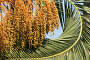 Финиковая пальма, фото № 1484092, снято 9 августа 2007 г. (c) Елена Блохина / Фотобанк Лори