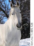 Купить «Портрет светло-серой лошади в зимнем лесу», фото № 1485128, снято 2 февраля 2010 г. (c) Титаренко Елена / Фотобанк Лори