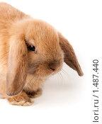 Кролик карликовый вислоухий баран (Oryctolagus cuniculus) Стоковое фото, фотограф Василий Вишневский / Фотобанк Лори