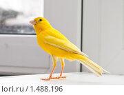 Птица желтая канарейка сидит на подоконнике. Стоковое фото, фотограф Анна Макеичева / Фотобанк Лори