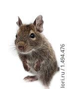Купить «Дегу, кустарниковая крыса, восьмизуб», фото № 1494476, снято 19 февраля 2010 г. (c) Василий Вишневский / Фотобанк Лори