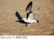 Посадка морской чайки на песок. Стоковое фото, фотограф EtoileDeChemin / Фотобанк Лори