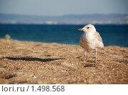 Купить «Хитрая морская чайка на песке», фото № 1498568, снято 27 августа 2009 г. (c) EtoileDeChemin / Фотобанк Лори