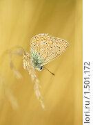 Купить «Голубянка Икар, Polyommatus icarus», фото № 1501172, снято 27 августа 2009 г. (c) Михаил Ушаков / Фотобанк Лори